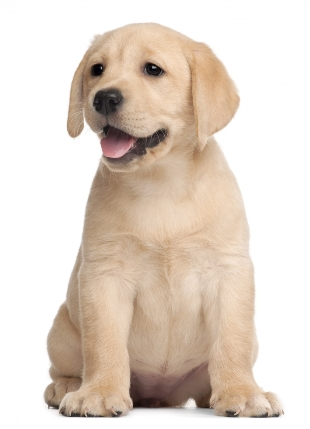 5479884-labrador-puppy-7-weeks-old-in-front-of-white-background