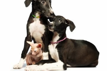 17089144-two-cute-puppy-greyhounds-and-kitten-don-sphynx-on-a-white